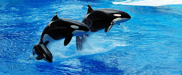 killer whales jumping - animals in captivity stock pictures, royalty-free photos & images
