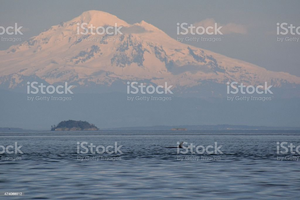 killer whales, Mt. Baker royalty-free stock photo