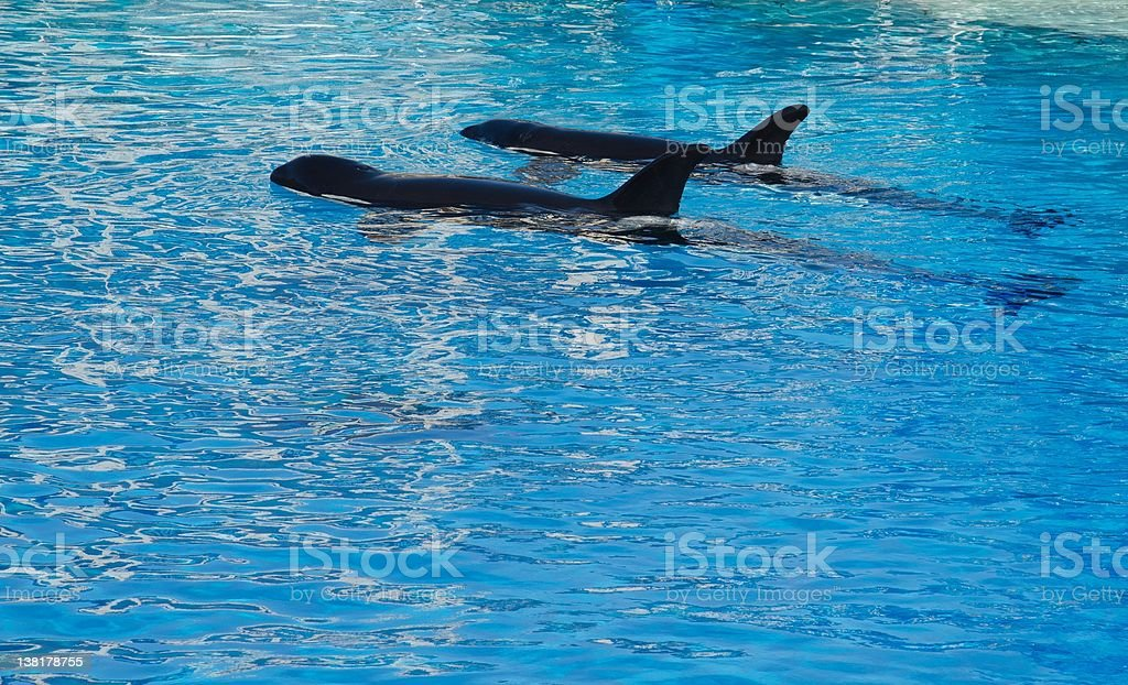 Killer Whales royalty-free stock photo