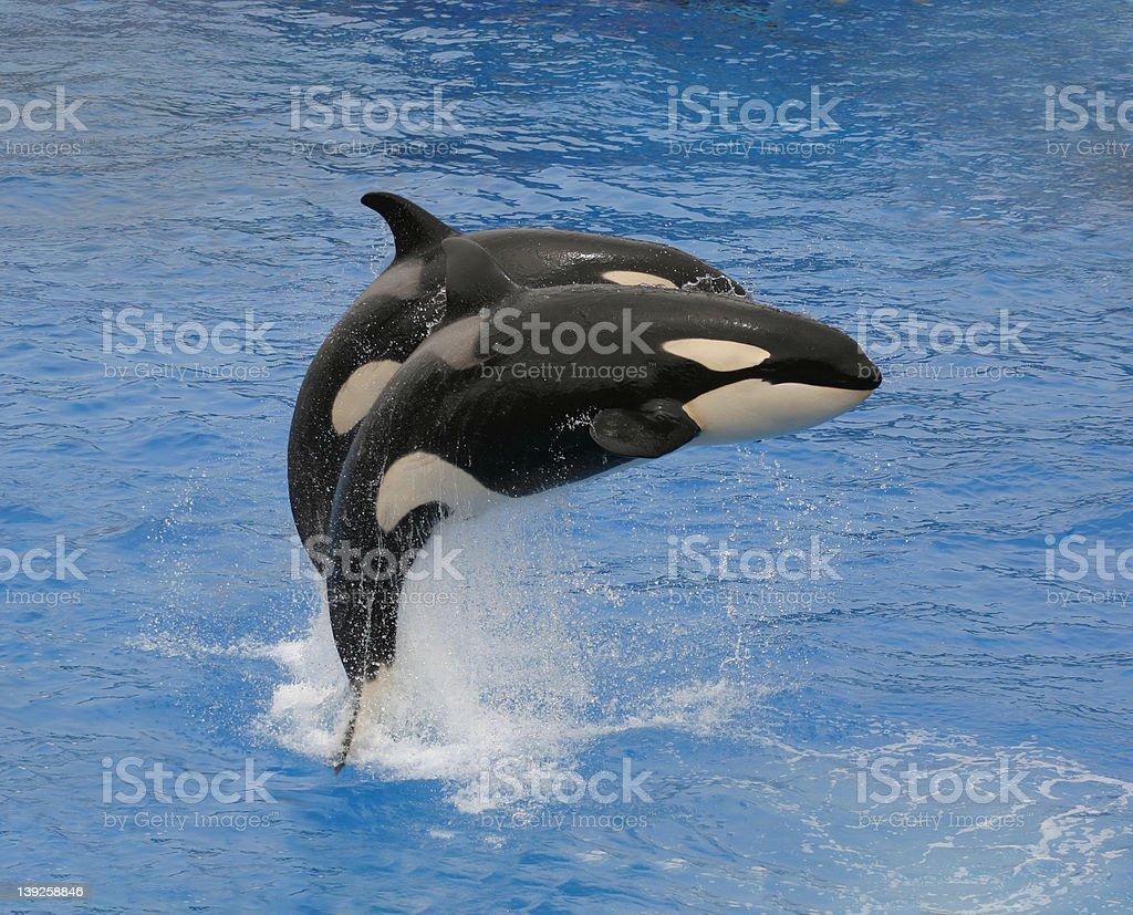 Killer Whales (1) royalty-free stock photo
