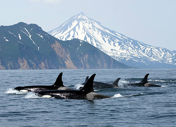 killer whales wild killer whales vancouver island stock pictures, royalty-free photos & images