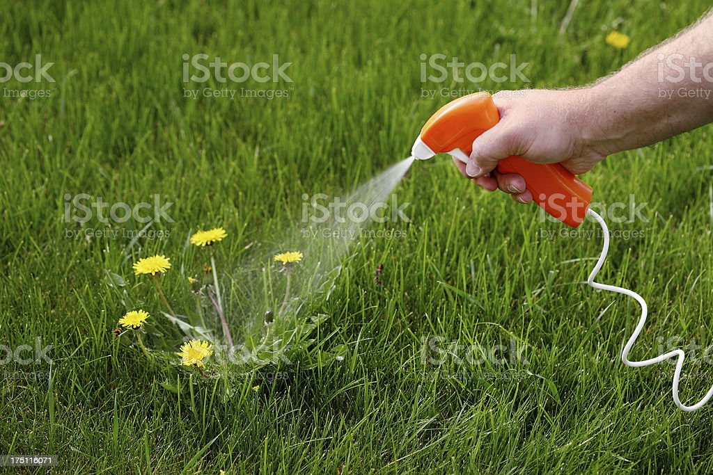 Killing Dandelions stock photo