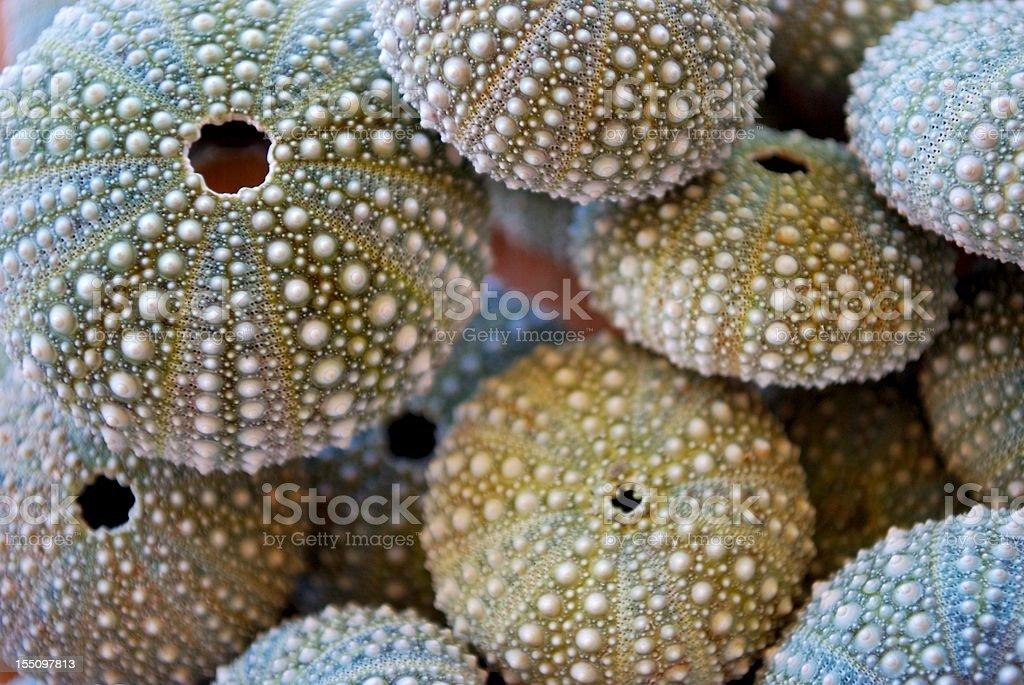 Kina - NZ Sea Urchin (Evechinus Chloroticus) stok fotoğrafı