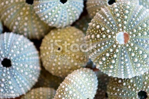 Background of Kina Shells with differential focus. The focus is on the top Kina Shell. This photo is in soft focus.