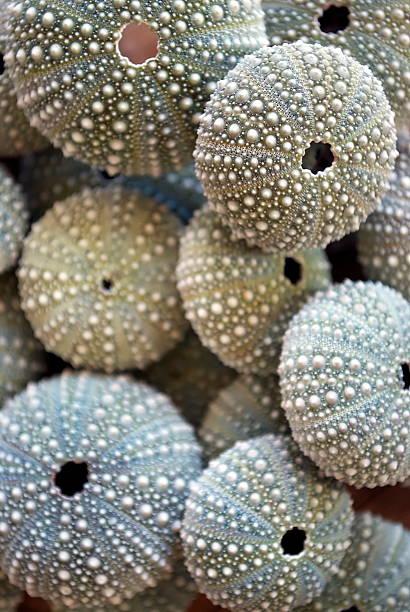 Kina - NZ Sea Urchin (Evechinus Chloroticus) stock photo