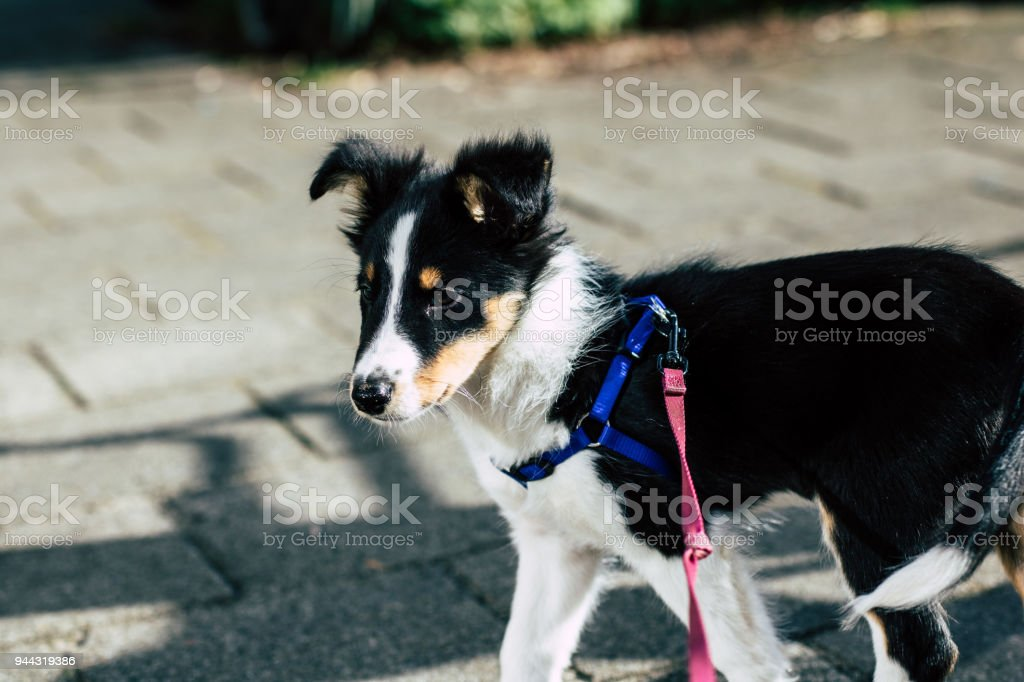 Kind Eyed Young Collie Puppy Practicing Leash Training And Listening
