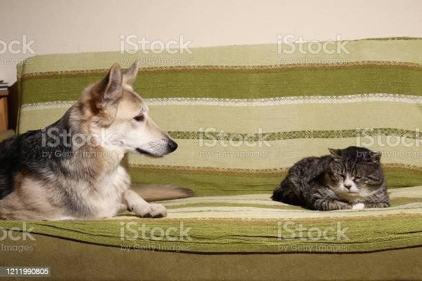 Kind mongrel dog looking at aged cat sleeping on sofa picture id1211990805?b=1&k=6&m=1211990805&s=612x612&h=n7prqpva547y4xuymz5oezp9h5trh0ptxqg56zgbnc0=