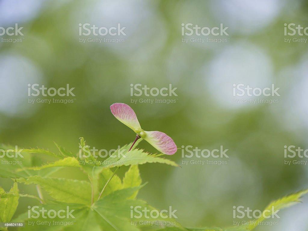 Art von maple im Wald Frühsommer – Foto
