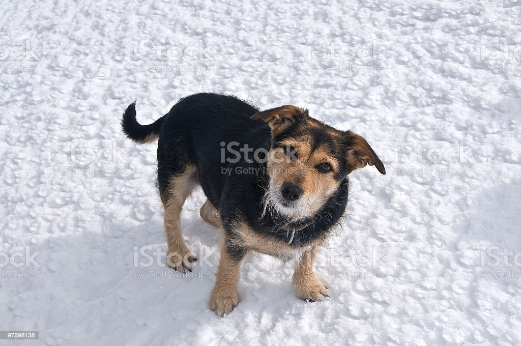 Kind Small Dog on Snow royalty-free stock photo