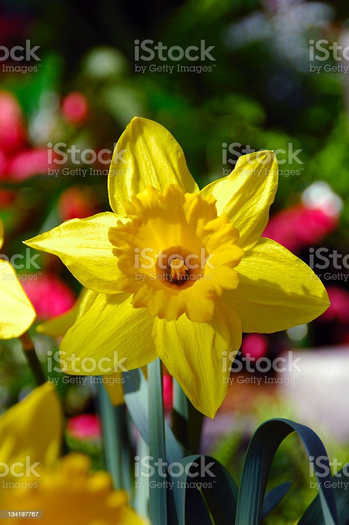 King Alfred Trumpet Narcissus Daffodil royalty-free stock photo