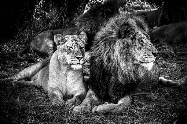 king and queen - lioness stock photos and pictures