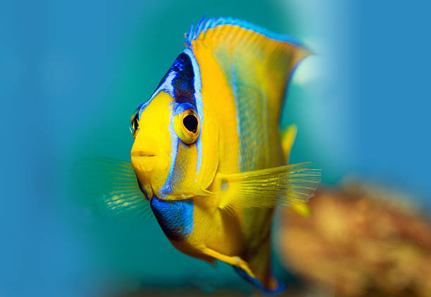 King Angel Fish stock photo
