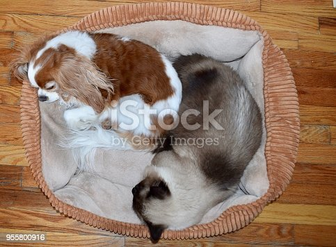 Dog and cat napping together in a pet bed