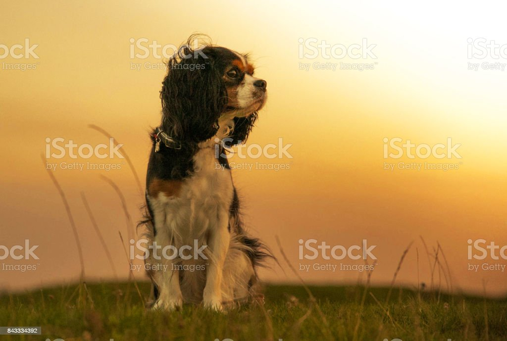 King Charles Cavalier dog stock photo