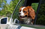 istock King Charles Spaniel in car window 531250468