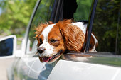 istock King Charles Spaniel in car window 531250562