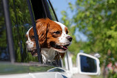 istock King Charles Spaniel in car window 531250660