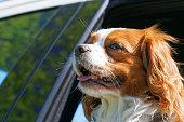 istock King Charles Spaniel in car window 537381212