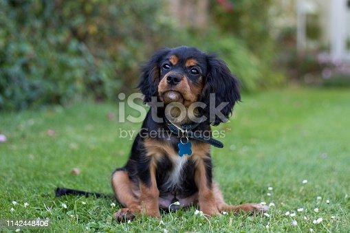 King Charles Spaniel puppy at 13 weeks old, England, United Kingdom;