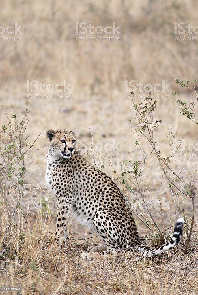 King cheetah royalty-free stock photo