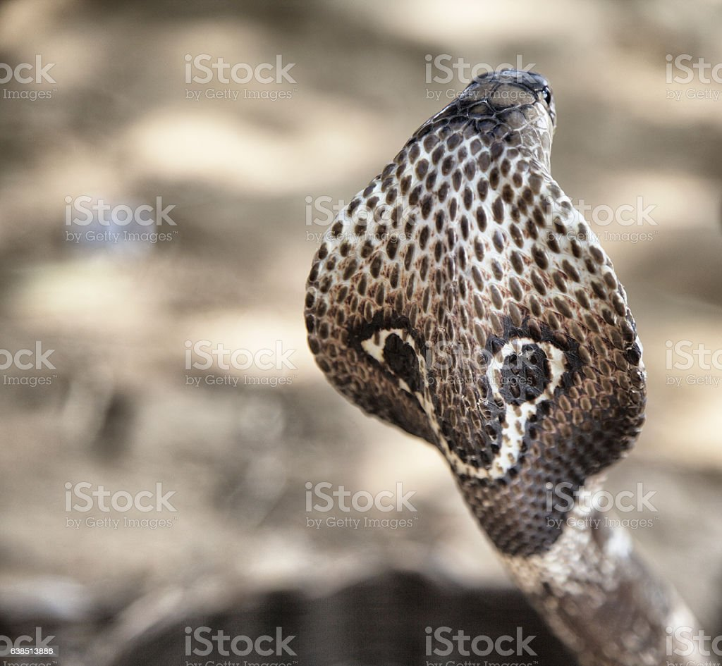 King Cobra in Sri Lanka stock photo