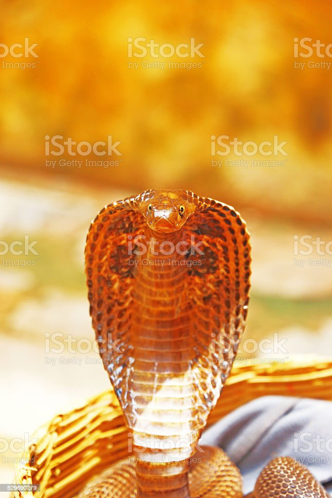 king cobra india stock photo