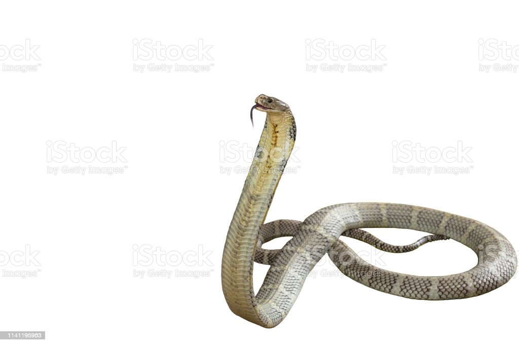 King Cobra On A White Background Stock Photo Download Image Now Istock