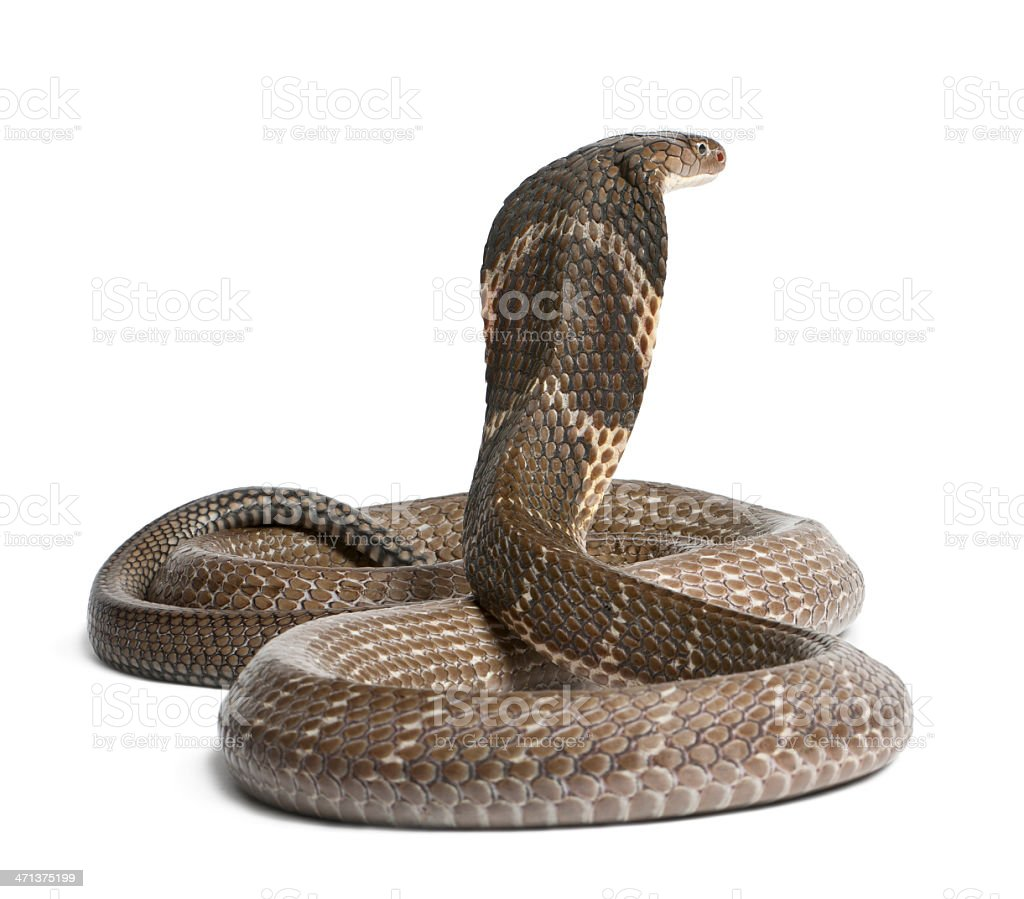 king cobra - Ophiophagus hannah, poisonous, white background stock photo
