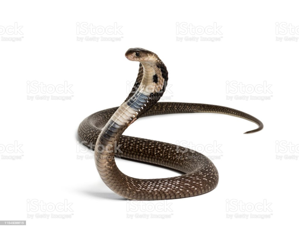 King Cobra Ophiophagus Hannah Venomous Snake Against White Background Against White Background Stock Photo Download Image Now Istock