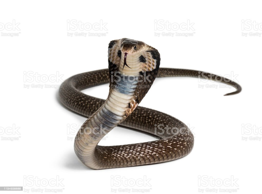 King Cobra Ophiophagus Hannah Venomous Snake Against White Background Looking At Camera Against White Background Stock Photo Download Image Now Istock
