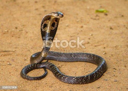 King Cobra on brown sand.