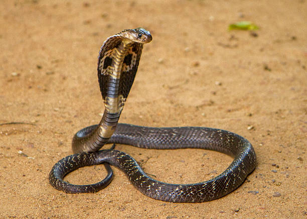 king cobra - snake strike stock photos and pictures