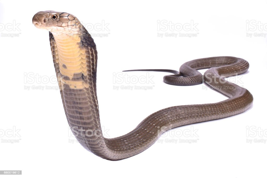 King cobra (Ophiophagus hannah) stock photo