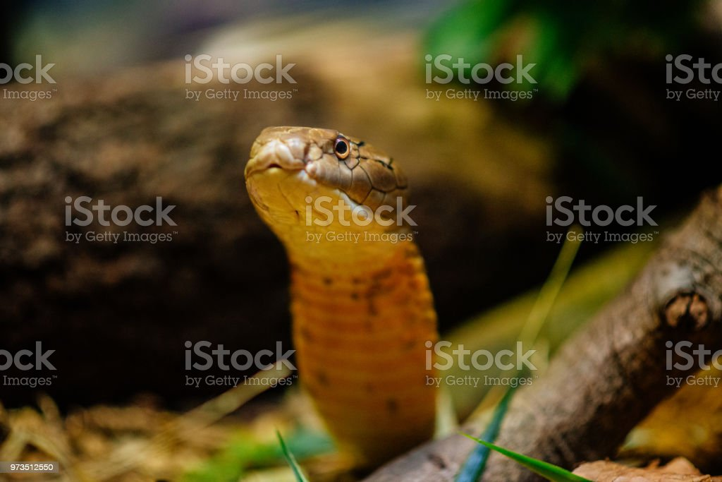 King Cobra Ready To Attack Stock Photo - Download Image Now
