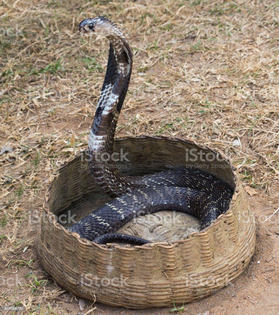 King Cobra Snake Charmer stock photo
