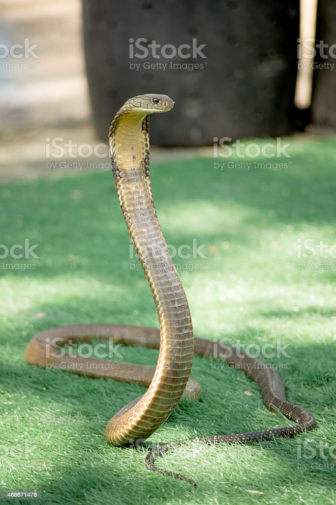 King Cobra snake is the world's longest venomous snake stock photo