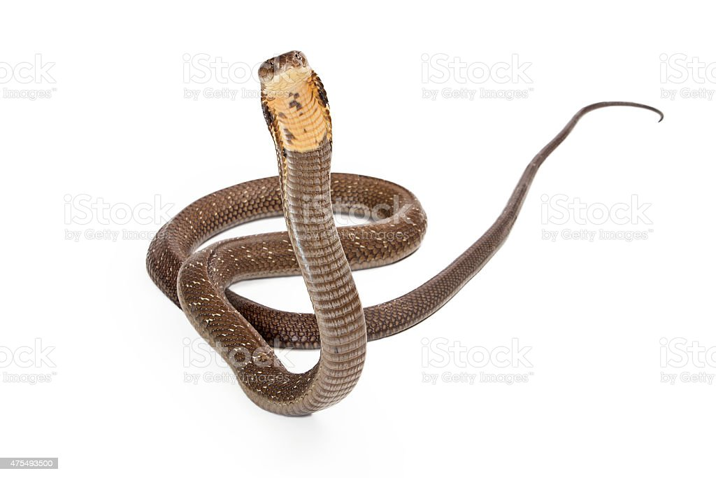 King Cobra Snake Looking Forward stock photo