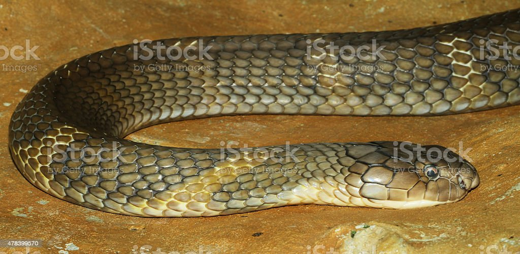 king cobra snake stock photo
