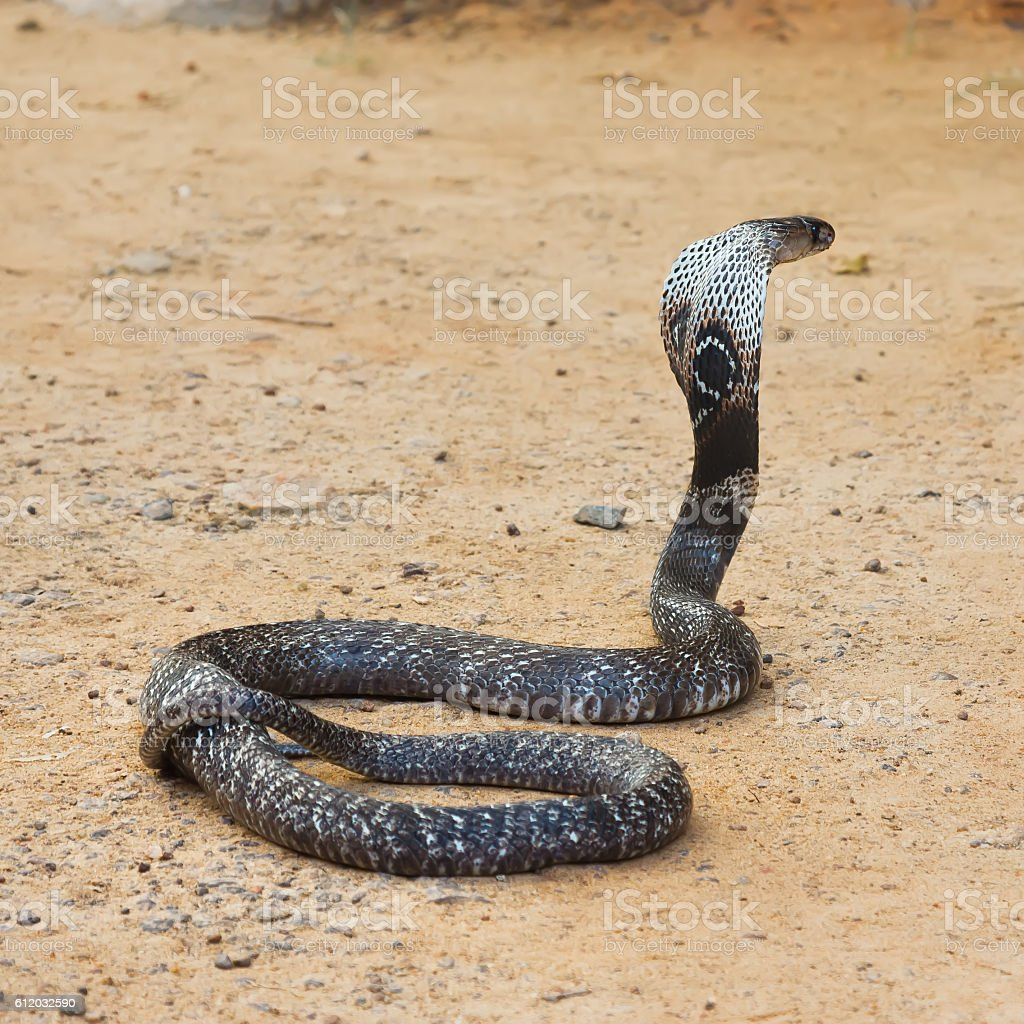 King Cobra snake. stock photo