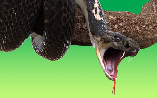 キング ・ コブラ ヘビ - ヘビ ストックフォトと画像