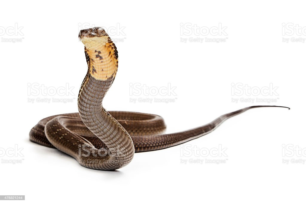 King Cobra Snake Ready to Strike stock photo