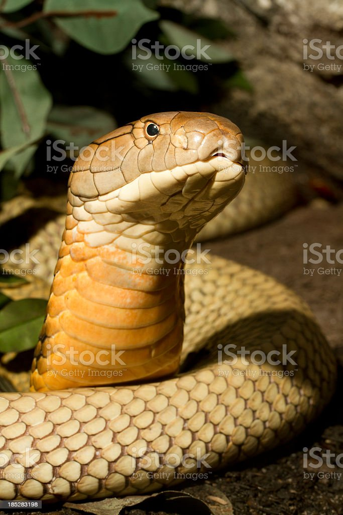 King Cobra Snake Rising to Hood royalty-free stock photo