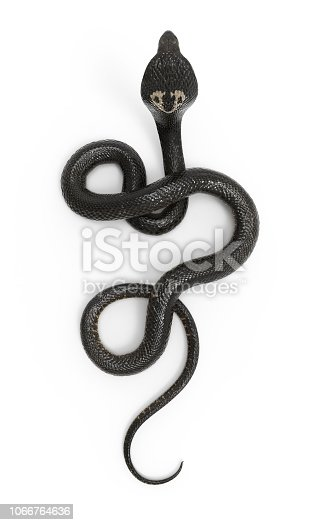 istock King Cobra Snake with Clipping Path 1066764636