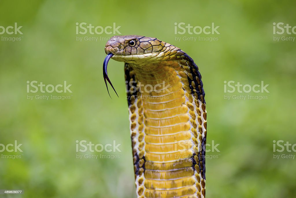 King Cobra (Ophiophagus hannah) The world's longest venomous snake stock photo