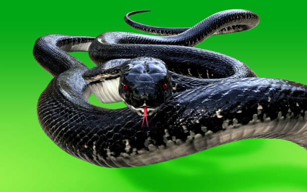 king cobra the world's longest venomous snake - snake strike stock photos and pictures