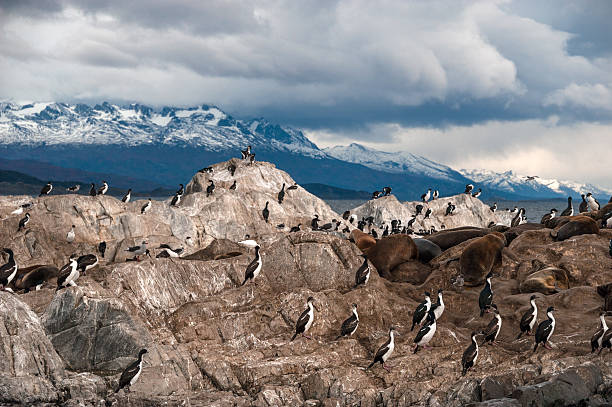 King Cormorant colony in the Beagle Channel King Cormorant colony sits on an Island in the Beagle Channel. Sea lions are visible laying on the Island as well. Tierra del Fuego, Argentina - Chile south american sea lion stock pictures, royalty-free photos & images