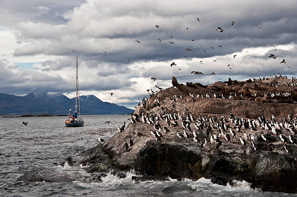 King Cormorant Colony. Tierra del Fuego, Argentina - Chile A King Cormorant colony sits on an Island in the Beagle Channel. Sea lions are visible laying on the Island as well. south american sea lion stock pictures, royalty-free photos & images