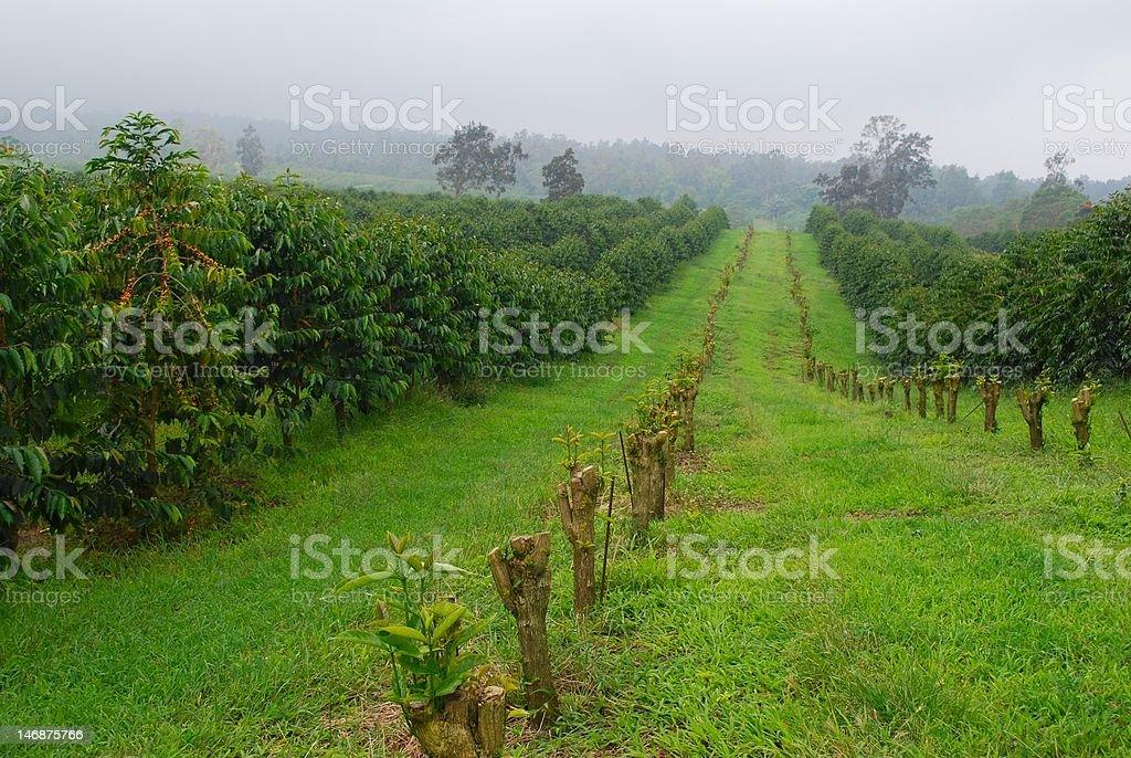 King Kona coffee fields stock photo