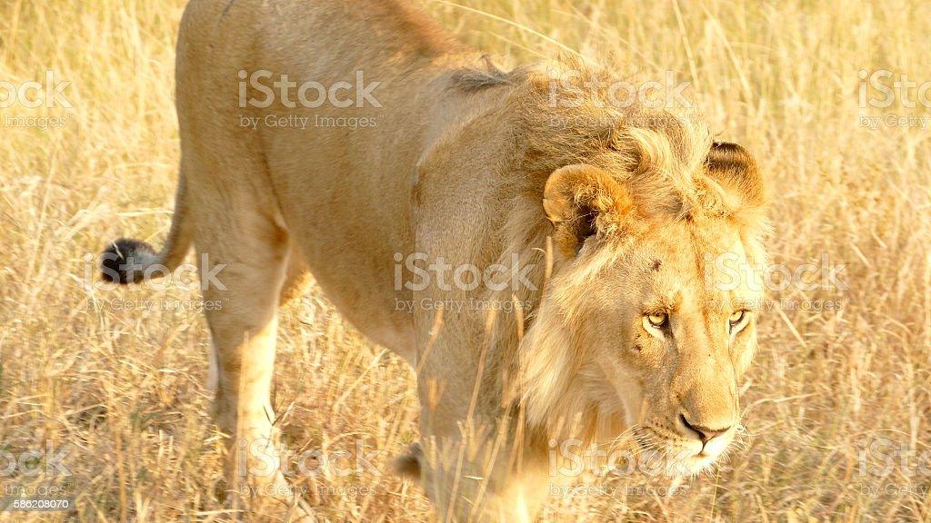 King Lion at wild - walking stock photo
