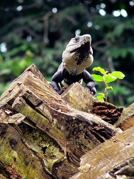 von belize mit king-size-bett - pilze bestimmen stock-fotos und bilder